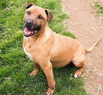 Shepherd (Unknown Type) Mix Dog for adoption in Midlothian, Virginia - Nikki