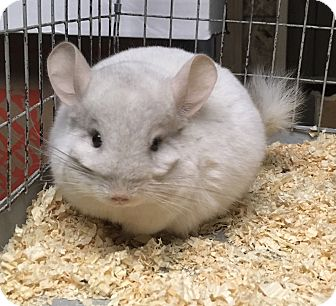 Chinchilla for adoption in Hammond, Indiana - 4 mo pink white M chinchilla