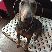 Adopt A Pet :: Maxy - bridgeport, CT