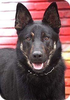 German Shepherd Dog/Dutch Shepherd Mix Dog for adoption in Los Angeles, California - Zuma von Zimmer