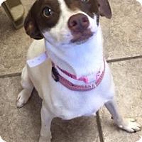 Adopt A Pet :: Cricket 111541 - Joplin, MO