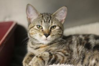 Domestic Shorthair/Domestic Shorthair Mix Cat for adoption in Covington, Louisiana - Angel