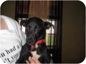 Terrier (Unknown Type, Small)/Dachshund Mix Puppy for adoption in Wauseon, Ohio - Shalini
