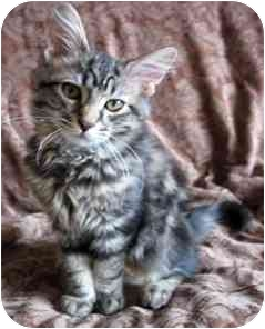 Domestic Shorthair Kitten for adoption in Toronto, Ontario - Drake