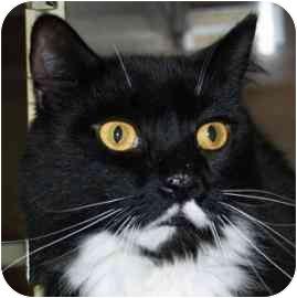 Domestic Mediumhair Cat for adoption in Walker, Michigan - Colin