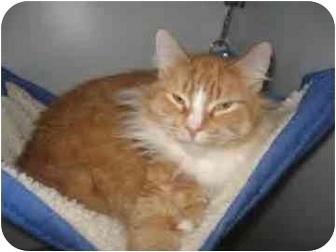 Domestic Longhair Cat for adoption in Menomonie, Wisconsin - Boy George