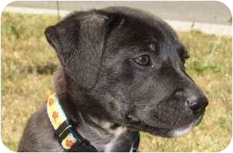 Rottweiler/American Pit Bull Terrier Mix Puppy for adoption in West Los Angeles, California - Lexi
