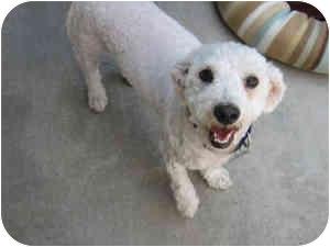 Bichon Frise Mix Dog for adoption in La Costa, California - Danny