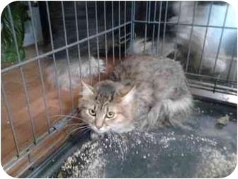Domestic Longhair Kitten for adoption in Tucson, Arizona - Friskie