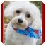 Photo 1 - Maltese Dog for adoption in North Palm Beach, Florida - Samy