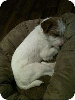 Jack Russell Terrier Dog for adoption in Scottsdale, Arizona - MAX