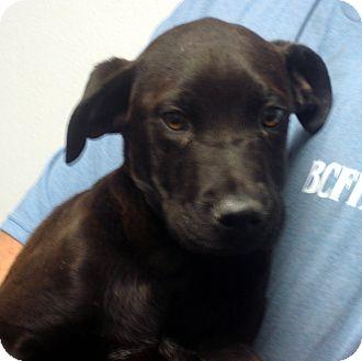 Labrador Retriever Mix Puppy for adoption in Manassas, Virginia - George
