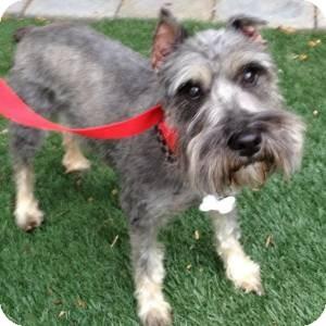 Schnauzer (Miniature) Dog for adoption in Redondo Beach, California - Sally