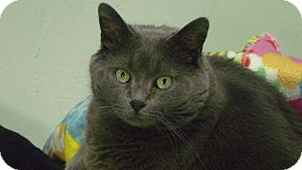 Domestic Shorthair Cat for adoption in Muskegon, Michigan - Roxy