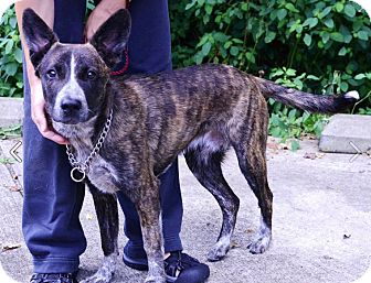 Australian Cattle Dog/Mountain Cur Mix Dog for adoption in Jersey City, New Jersey - Dash Mihok