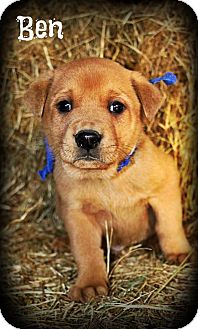 Labrador Retriever/German Shepherd Dog Mix Puppy for adoption in Cranford, New Jersey - Ben