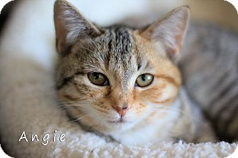 Domestic Shorthair Kitten for adoption in Chester, Maryland - Angie