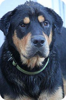 Rottweiler Mix Dog for adoption in Yuba City, California - Brick