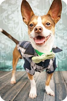 Terrier (Unknown Type, Small)/Chihuahua Mix Dog for adoption in Phoenix, Arizona - Preston