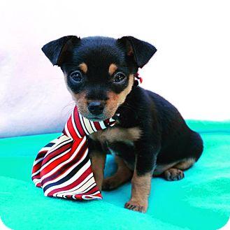 Miniature Pinscher/Chihuahua Mix Puppy for adoption in Irvine, California - RJ