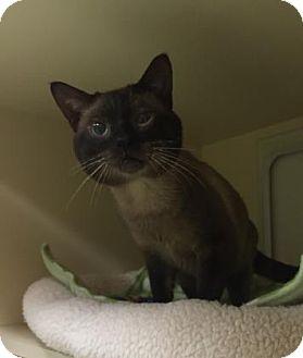 Burmese Cat for adoption in Gloucester, Massachusetts - Dr Dimples