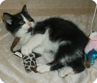 Domestic Shorthair Kitten for adoption in Circleville, Ohio - Oliver