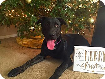 German Shepherd Dog/Labrador Retriever Mix Dog for adoption in Mandeville, Louisiana - Max