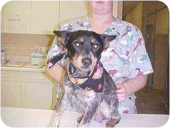 Blue Heeler Mix Dog for adoption in Burnsville, North Carolina - Dixie