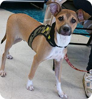 Labrador Retriever/Australian Cattle Dog Mix Dog for adoption in Phoenix, Arizona - Jake