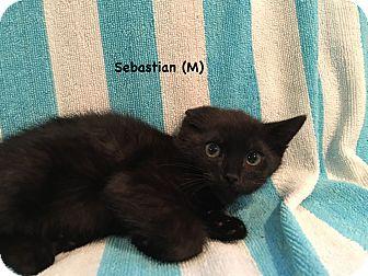 Domestic Shorthair Kitten for adoption in West Orange, New Jersey - Sebastian