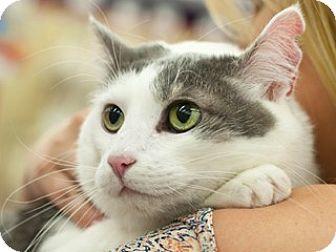 Domestic Mediumhair Cat for adoption in Great Falls, Montana - Tamara