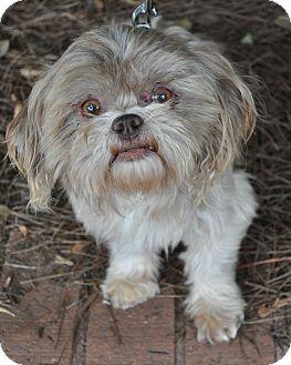 Shih Tzu Dog for adoption in Atlanta, Georgia - Norris