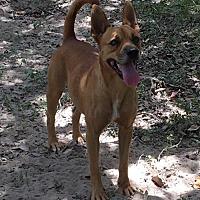 Terrier (Unknown Type, Medium)/Retriever (Unknown Type) Mix Dog for adoption in Olympia, Washington - HarleyK