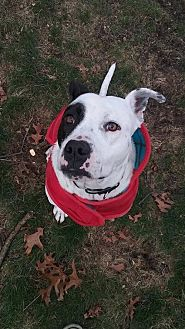 American Staffordshire Terrier/Pointer Mix Dog for adoption in Whitestone, New York - Odie