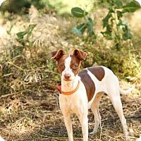 Adopt A Pet :: Poppy - Auburn, CA