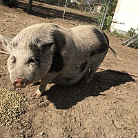 Pig (Potbellied) for adoption in Ontario, California - Miss. Piggy
