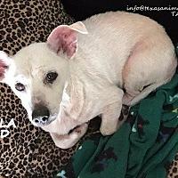 Adopt A Pet :: Stella - Spring, TX