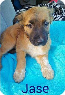 Cattle Dog/Beagle Mix Puppy for adoption in St Louis, Missouri - Jase