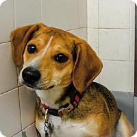 Beagle Mix Dog for adoption in Denver, Colorado - Barkley
