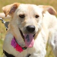 Adopt A Pet :: Shay - Wimberley, TX