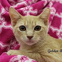 Adopt A Pet :: Golden Boy - Wichita Falls, TX