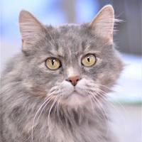 Domestic Longhair/Domestic Shorthair Mix Cat for adoption in Dodgeville, Wisconsin - Yuna