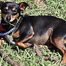 Adopt A Pet :: Dixie