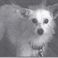 Adopt A Pet :: Snowball #2 - El Cajon, CA