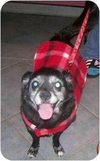 Boston Terrier/French Bulldog Mix Dog for adoption in Oak Ridge, New Jersey - Brandon