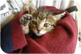Domestic Shorthair Kitten for adoption in Houston, Texas - Philbert