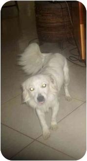 Pomeranian/Springer Spaniel Mix Dog for adoption in Pembroke pInes, Florida - Lenny