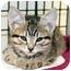 Photo 3 - Domestic Shorthair Kitten for adoption in Phoenix, Oregon - Kittens!
