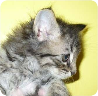 Domestic Longhair Kitten for adoption in Eastpoint, Florida - Catsby