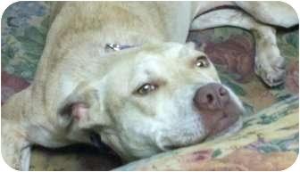 American Pit Bull Terrier Mix Dog for adoption in Hazleton, Pennsylvania - Blondie